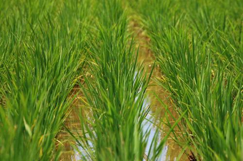 稲 有機栽培米 コシヒカリ
