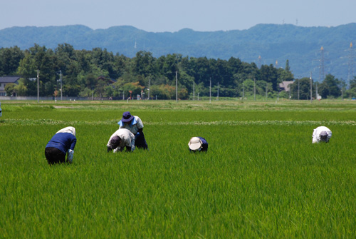 草取り 除草 有機栽培米 コシヒカリ 無農薬 田んぼ