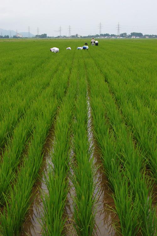 有機栽培米 田んぼ 草取り 有機栽培 除草