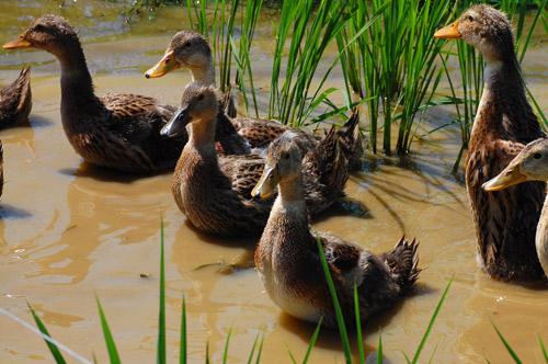合鴨農法 アイガモ  合鴨 有機栽培米