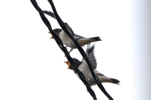 ツバメ 燕