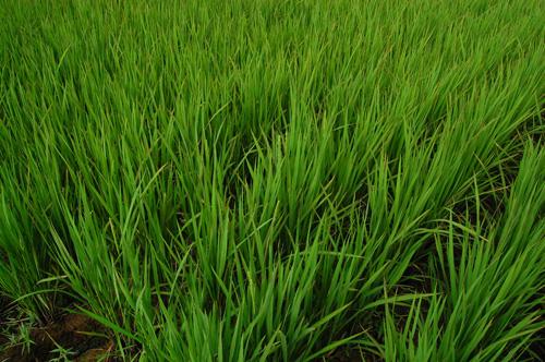 有機栽培米 黒米 古代米 穂 中干し 稲