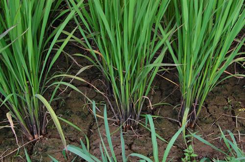 有機栽培米 黒米 朝紫 茎 茎数