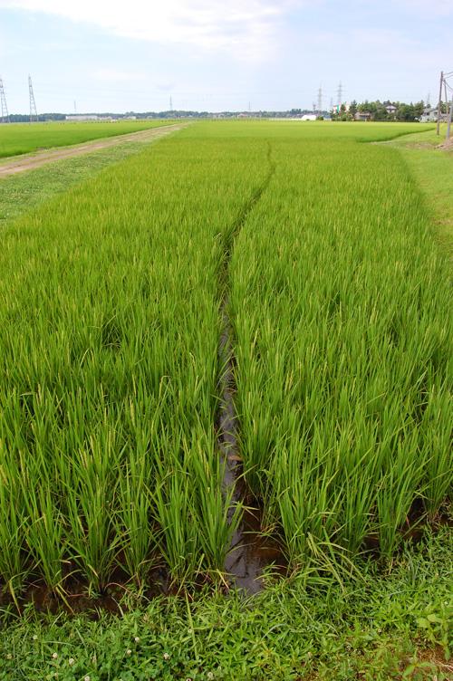 有機栽培米 黒米 朝紫 穂 出穂 稲 田んぼ