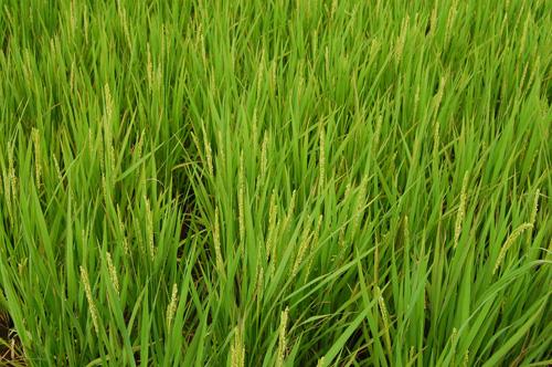 有機栽培米 黒米 朝紫 穂 出穂 稲