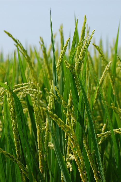 早稲 もち米 わたぼうし 出穂