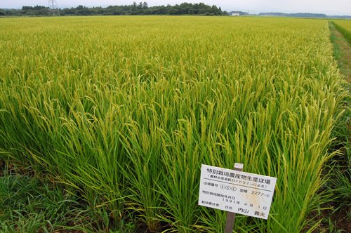 穂 出穂 稲穂 田んぼ 特別栽培米 特別栽培農産物 コシヒカリ