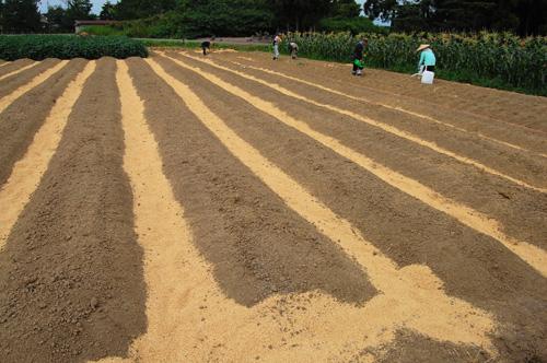 畑 キャベツ 苗 定植