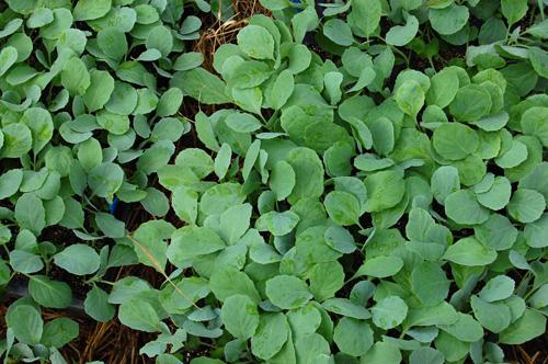 キャベツ 苗 定植