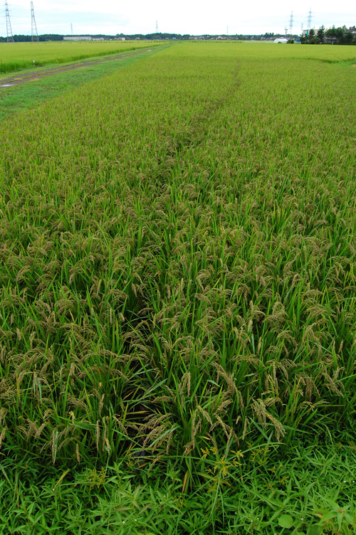 有機栽培米 黒米 朝紫 田んぼ 稲穂 古代米