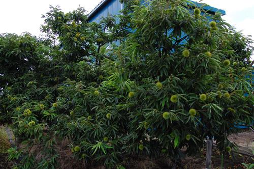 栗 栗の木