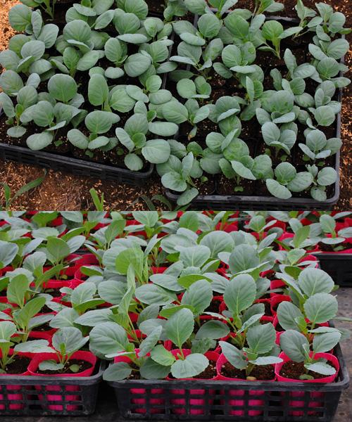 キャベツ 苗 定植 やひこ 越のひかり