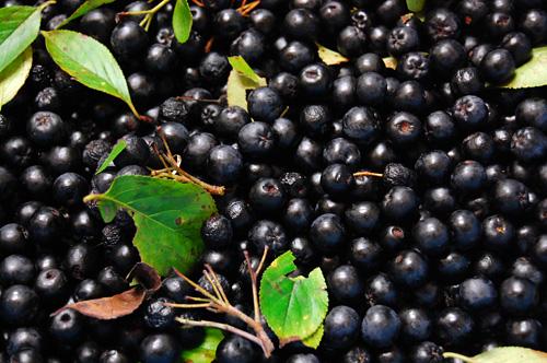 アロニア 実 アロニアベリー 収穫 果実