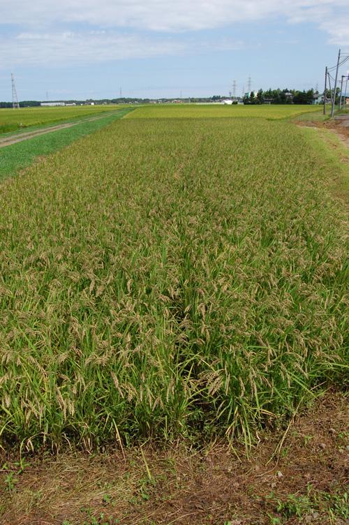 黒米 紫黒米 古代米 朝紫 もち米 籾 有機栽培米 有機JAS 有機農産物 JAS有機 稲穂 オーガニック