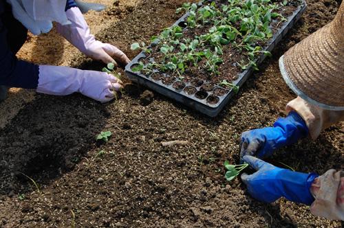 キャベツ 苗 定植 越のひかり 苗植え
