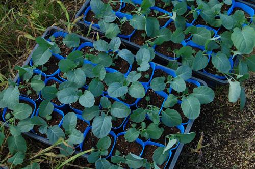 ブロッコリー 苗 定植