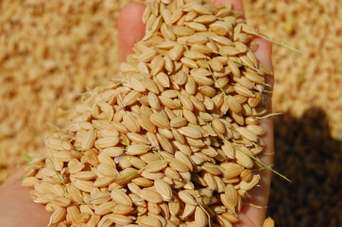 稲刈り 刈り取り 新米 お米 わたぼうし もち米 脱穀 籾 モミ コンバイン アンローダ