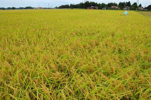 稲刈り 刈り取り 稲穂 新米 お米 わたぼうし もち米 草取り 雑草 稗