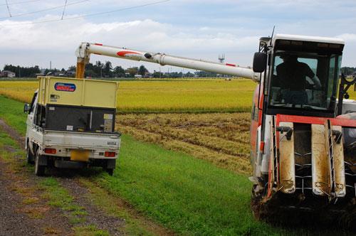 稲刈り 刈り取り 稲穂 新米 お米 わたぼうし もち米