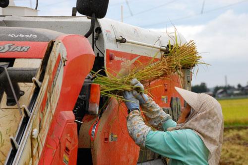 稲刈り 刈り取り 稲穂 新米 お米 わたぼうし もち米 脱穀 コンバイン
