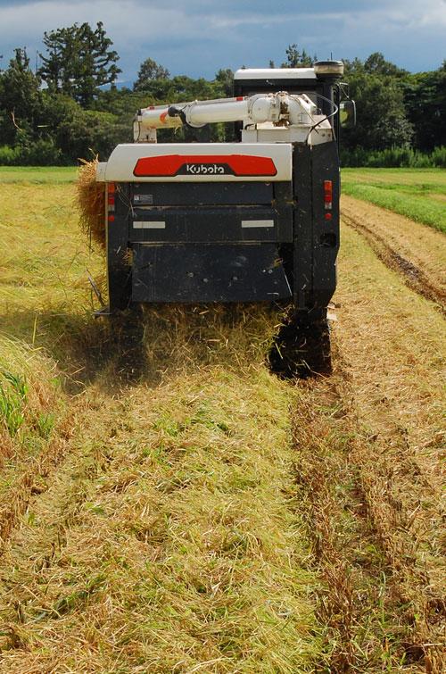 稲刈り 刈り取り 田んぼ 稲穂 稲 もち米 こがねもち 新米 コンバイン