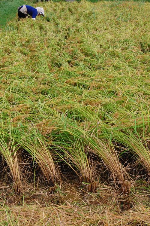 稲刈り 刈り取り 田んぼ 稲穂 稲 もち米 こがねもち 新米
