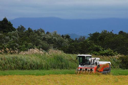 稲刈り 刈り取り 稲穂 稲 もち米 こがねもち 新米 コンバイン