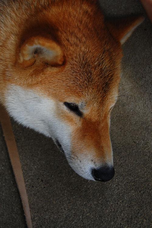 柴犬 ペット 天 飼い犬