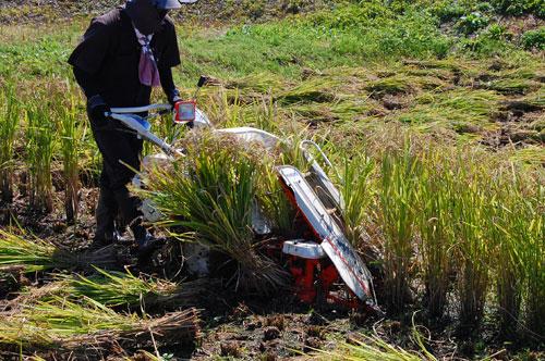 黒米 古代米 朝紫 もち米 新米 紫黒米 稲刈り 刈り取り 田んぼ 有機栽培米 バインダー 刈取機