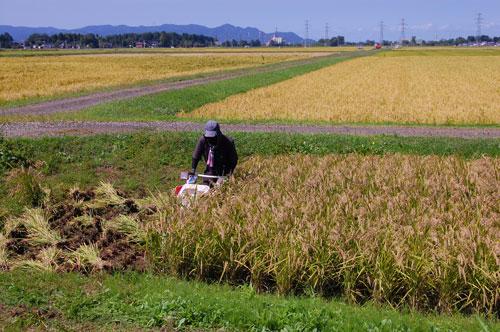 黒米 紫黒米 古代米 朝紫 もち米 有機栽培米 有機JAS 有機農産物 JAS有機 稲穂 オーガニック 稲刈り
