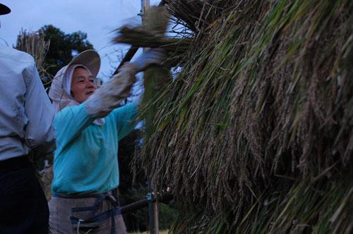 黒米 紫黒米 古代米 朝紫 もち米 有機栽培米 有機JAS 有機農産物 JAS有機 稲穂 オーガニック 稲刈り はさ掛け はさ木 乾燥