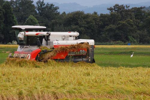 サギ 白サギ チュウサギ 田んぼ 稲刈り 収穫