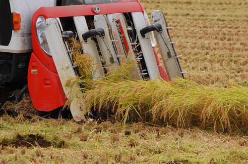 稲刈り 新米 特別栽培米コシヒカリ コシヒカリ お米 刈り取り 減農薬 減化学肥料