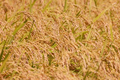 有機栽培米 有機JAS認定 JAS有機認証 コシヒカリ 新米 田んぼ 稲穂 稲刈り 刈り取り