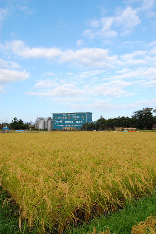 有機栽培米 有機JAS認定 JAS有機認証 コシヒカリ 新米 田んぼ 稲穂