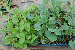 白菜とキャベツの苗