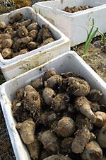 芽が出た種芋