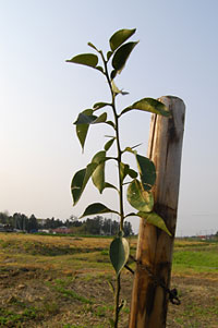柚子の苗木